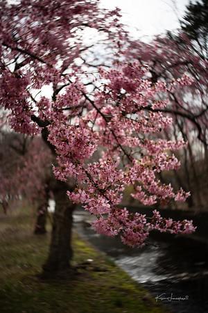 Bound Brook Park Cherry Blossom Festival