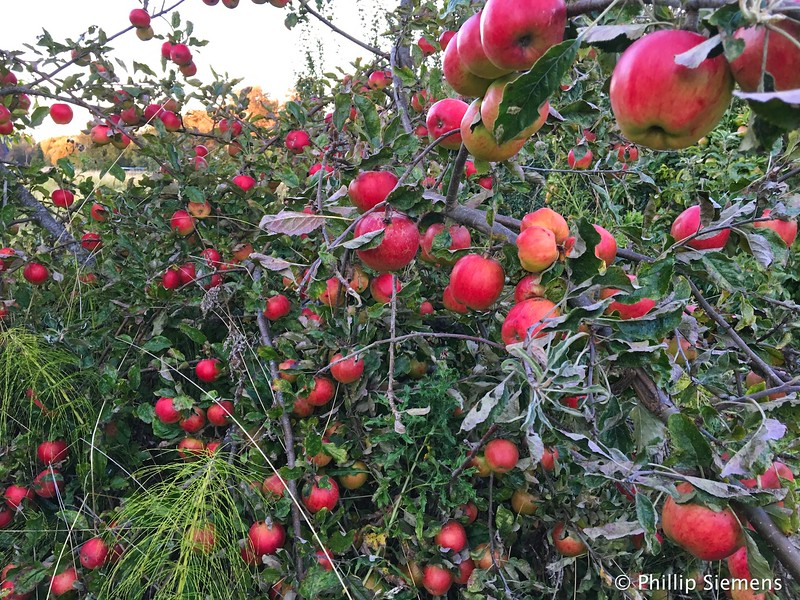 One of the apple trees on the rental property