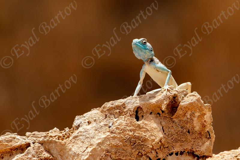 Sinai agama (Pseudotrapelus sinaitus, formerly Agama sinaita)  חרדון סיני
