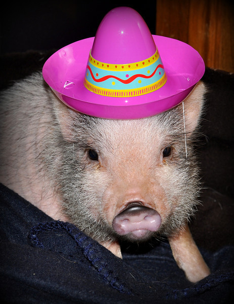 My newest addition to the family....a cute little micro mini pig!!! I've been wanting one forever...and finally decided to get one! He really needs a name...so any suggestions??  My neighbors stopped by after attending a birthday party and one of the kids left their little party hat...which happened to just fit my little pig!!