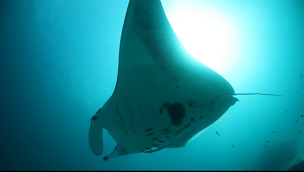 Manta Rays -Manta Point -Raja Ampat
