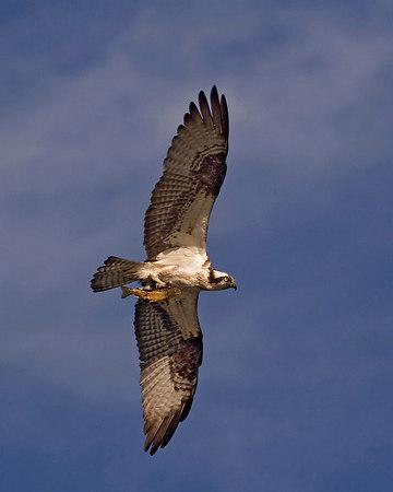 Osprey Misc.