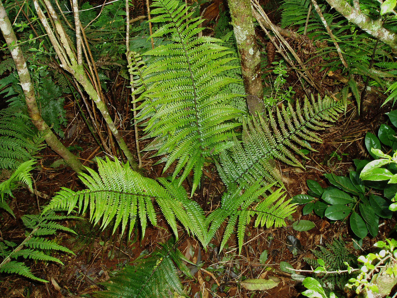 "Dryopteris fusco-atra var. lamoureauxii This image is licensed under the Creative Commons Attribution-NonCommercial 3.0 Unported license.  You may share and adapt this work, but only with attribution (""by Hank L. Oppenheimer"") and only for non-commercial purposes unless permission is obtained from the copyright-holder (contact webmaster@hear.org)."