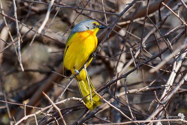The gorgeous Orange Breasted Bushshrike