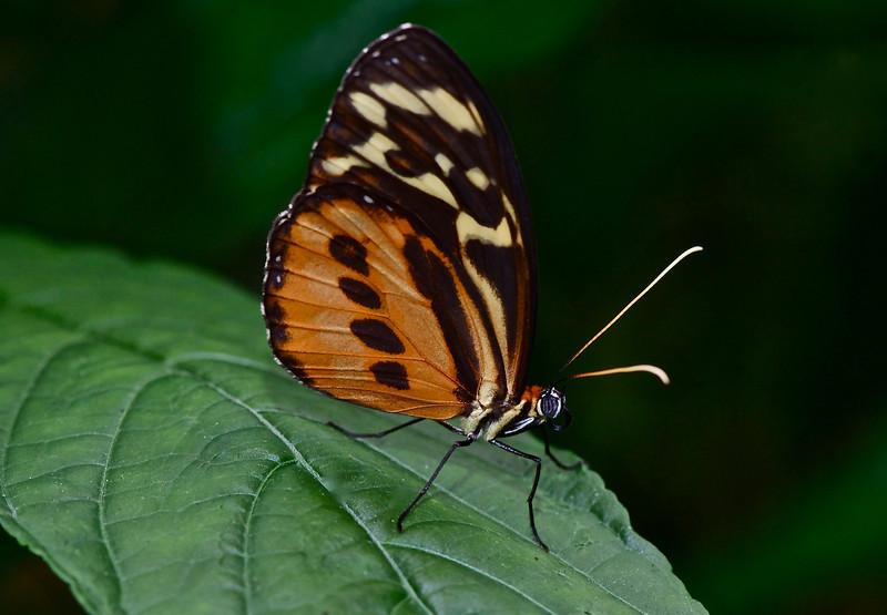 Polymorphic Longwing (Heliconius hecale zuleika)