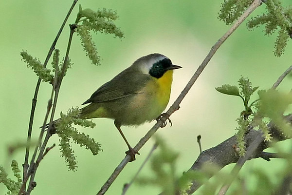 Warblers (New World)