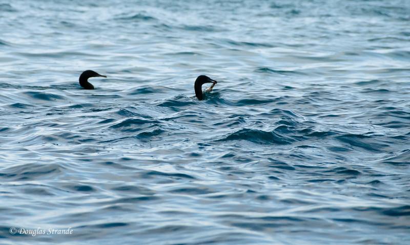 Flightless Cormorants catch an eel at Punta Vincente Roca, Isabela Island