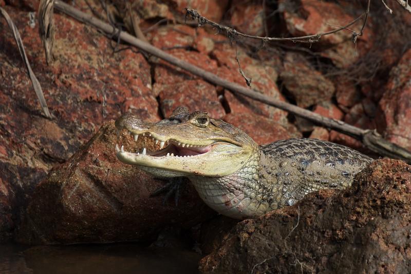 Cayman, Cano Negro Preserve, Costa Rica