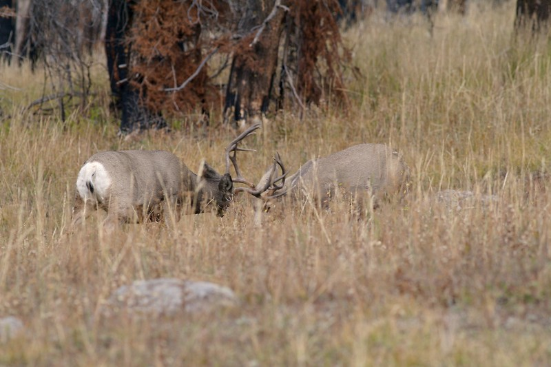 Not all antler-to-antler combat is aggressive; Some, like in this photo, is just sparring between two bucks [September; Yellowstone National Park, Wyoming]