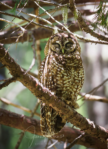200712-Spotted Owls Butte County-7129637.jpg