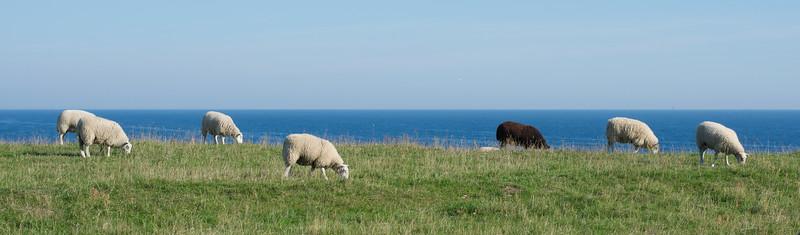 Cliffside Sheep
