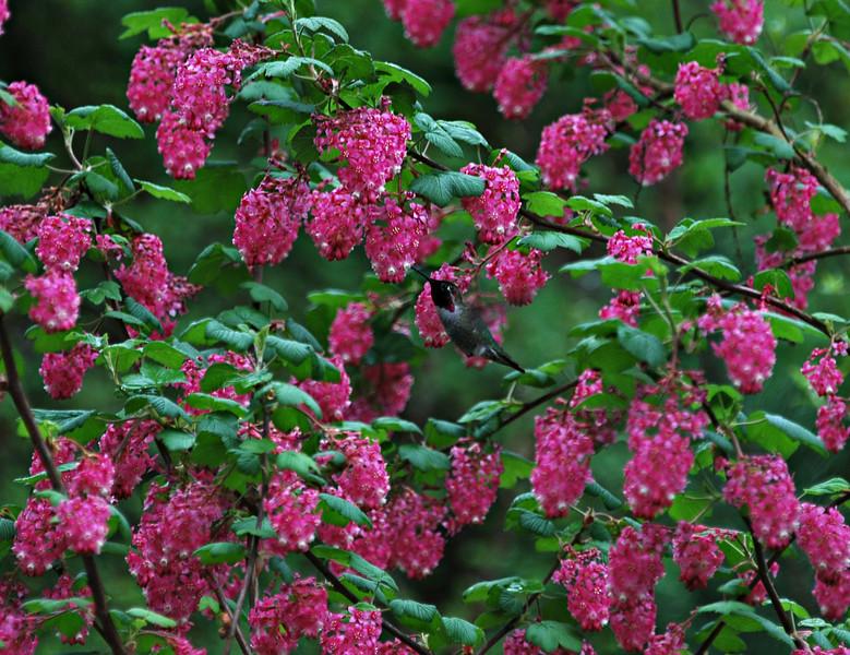 Anna's Hummingbird Seattle, WA