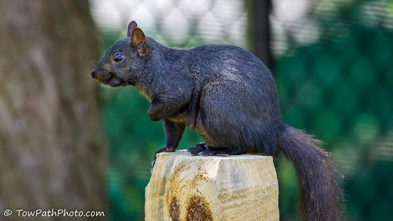 Eastern Grey Squirrel (Black Squirrel)