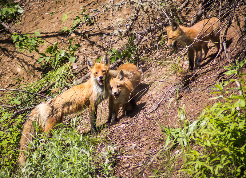 Frolicking Fox Family