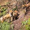 Frolicking Fox Family