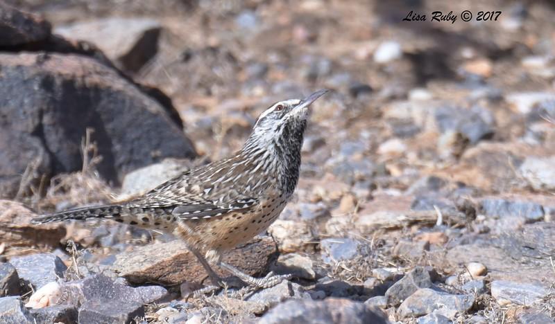 Cactus Wren - 10/21/2017 - McDowell Sonoran Preserve, Scottsdale AZ