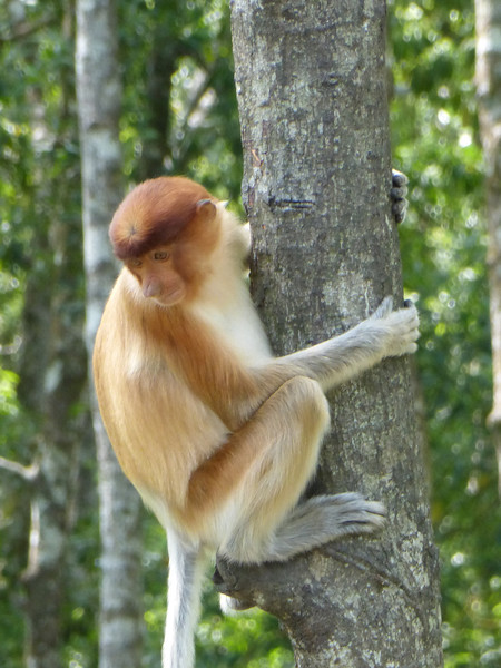 Labuk Bay Proboscis Monkey Sanctuary, Borneo (Apr 11, 2014)