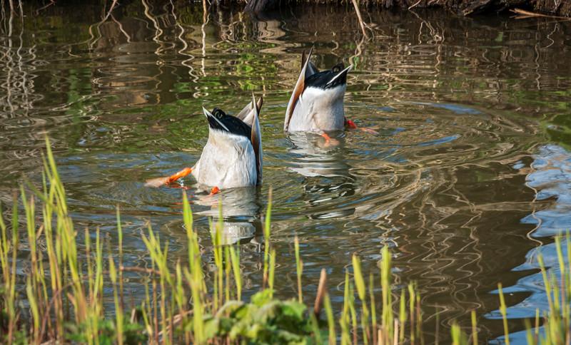 Ducks looking for food