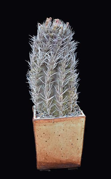 Eriosyce bulbocalyx