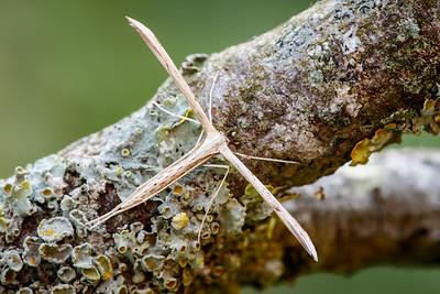 Pterophoridae