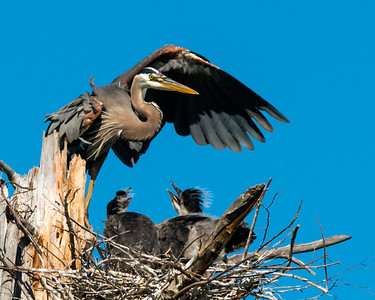 Great Blue Herons and their Babies