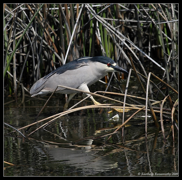Black-crowned Night Heron, Famosa Slough, San Diego County, California, May 2009