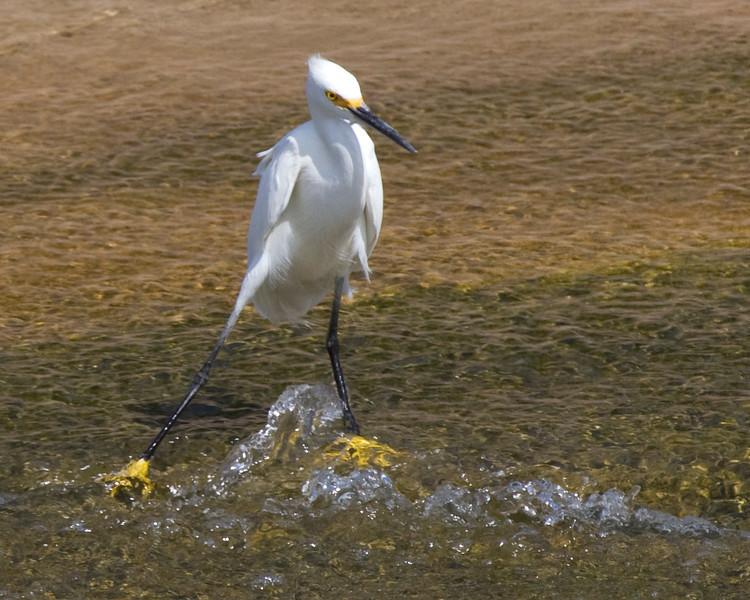Snowy egret akimbo in Brays Bayou