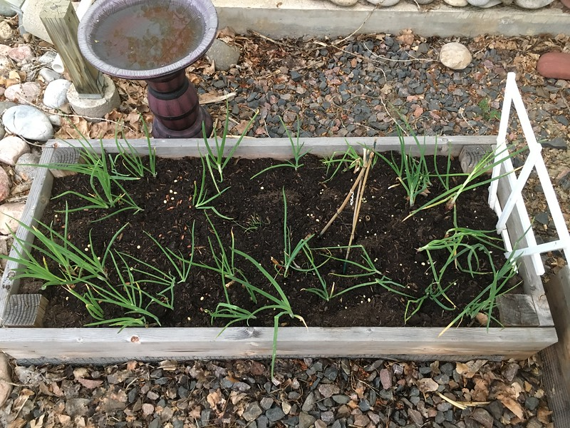 onion, squash, pea and bean raised-bed garden