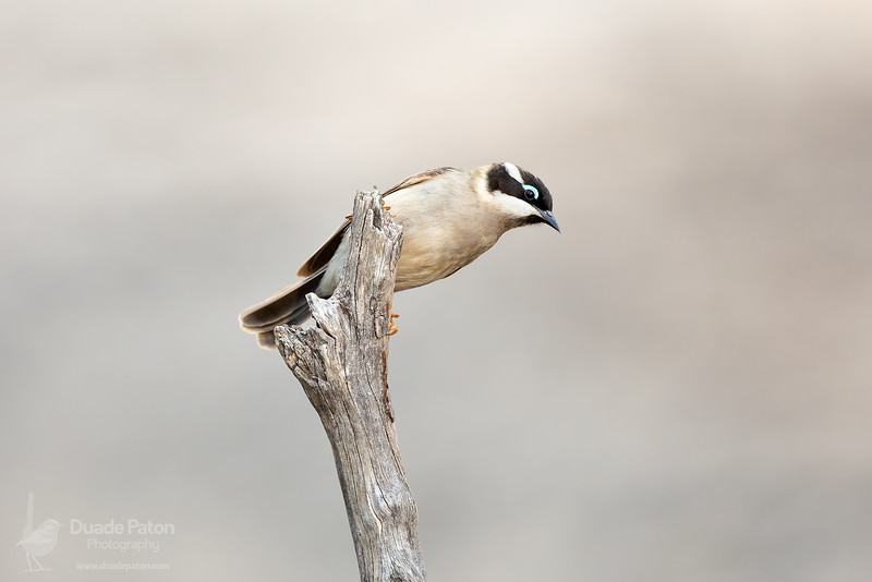Black-chinned Honeyeater