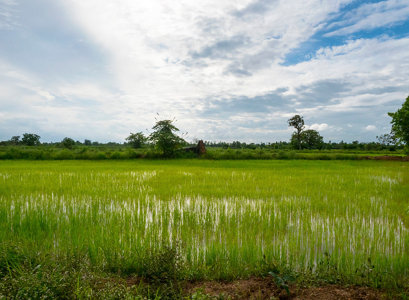 rice farm.jpg