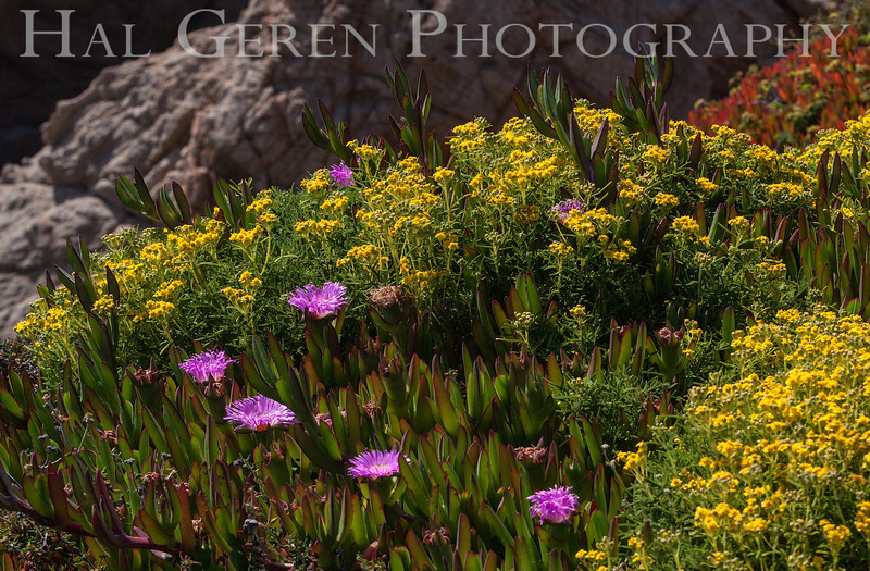 Iceplant and Misc Flowers Garrapata Creek Headlands Big Sur, California 1206BS-F6