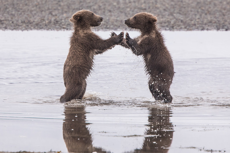 alaska-bears-20.jpg