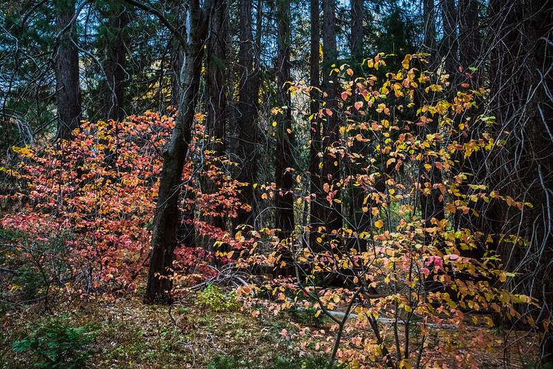 San_Bernardino_Mountains_Fall_Color_Dogwood_DSC3289.jpg