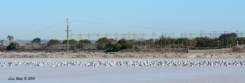 Mostly California Gulls - 1/18/2014 - Salt Works  - there were a few Westerns in here