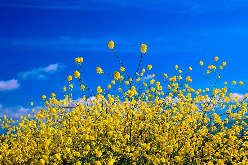 New Alviso Yellow&Blue-5.jpg