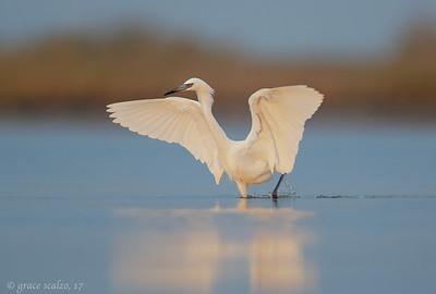Reddish Egrets