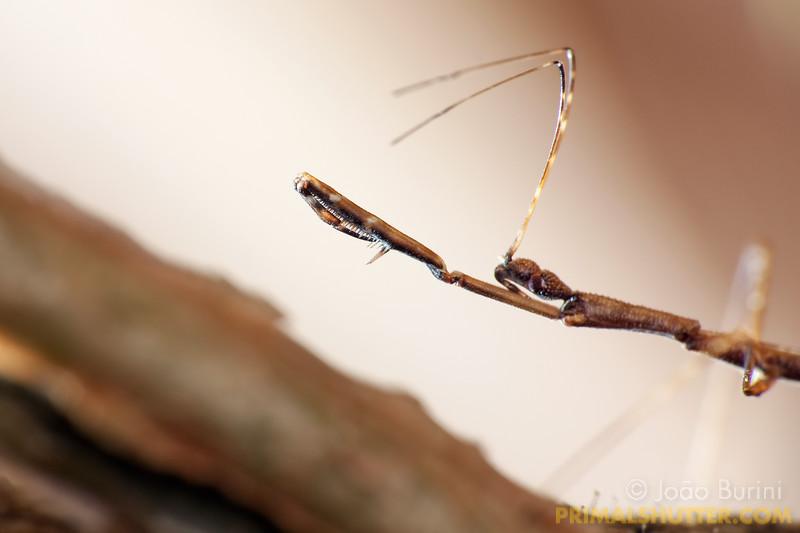 Thread legged assassin bug