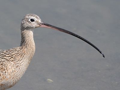 Upland Sandpiper, Curlews and Godwits