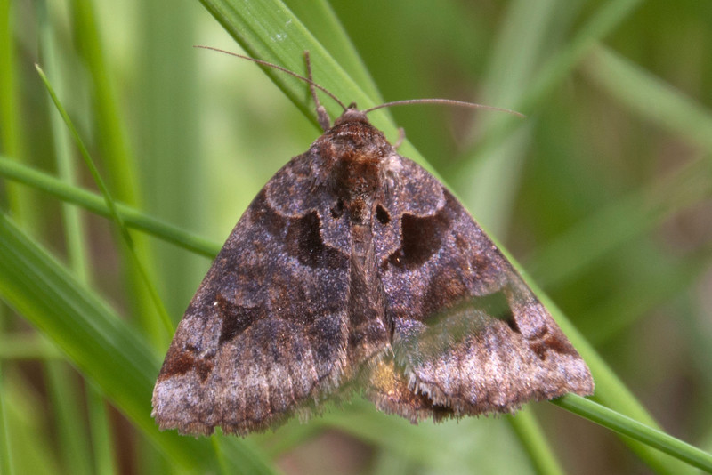 Somberwing - Toothed - (Euclidia cuspidea) - Dunning Lake - Itasca County, MN