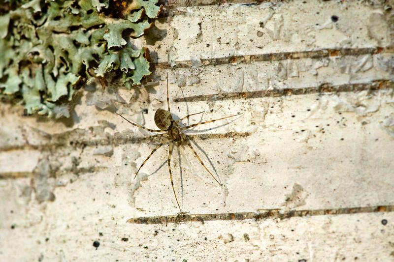 Spider on a Birch tree