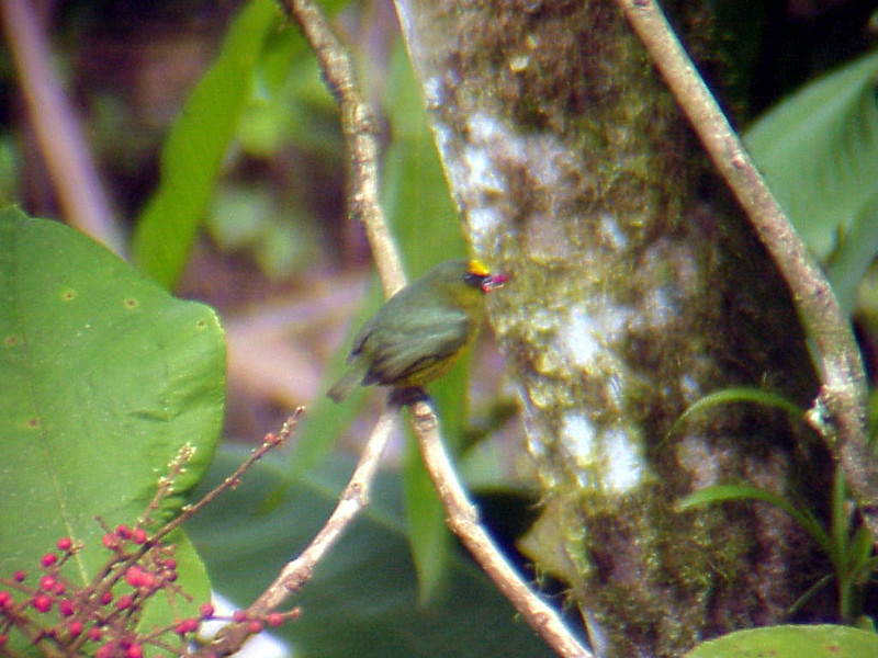 Olive-capped Euphonia male at La Selva Costa Rica 2-11-03 (50898199)