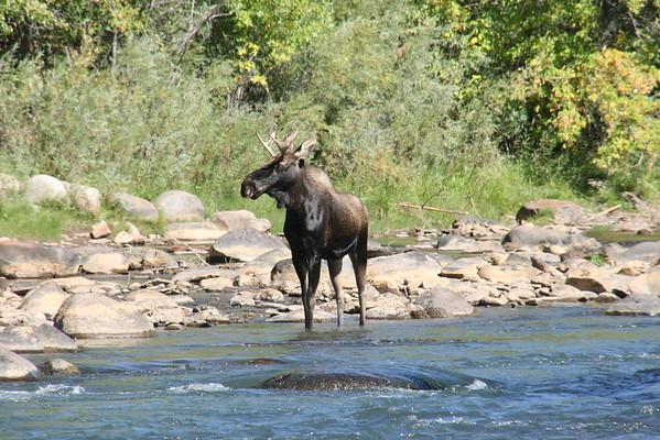 Colorado.Durango.Moose.15