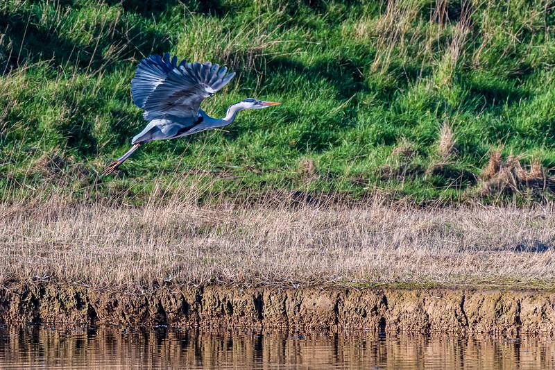 Grey Heron (Scientific name: Ardea cinerea) at Cuckmere
