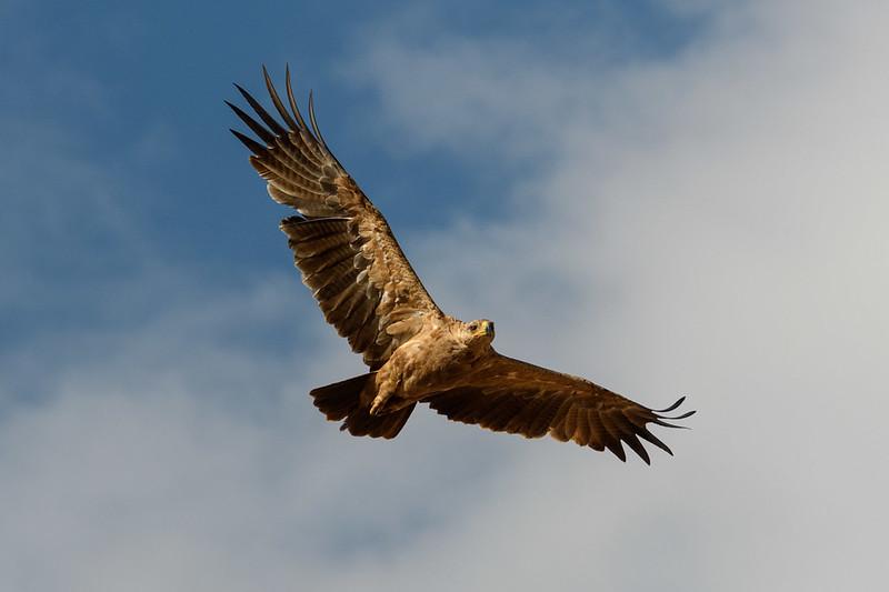 Tawny Eagle Soaring