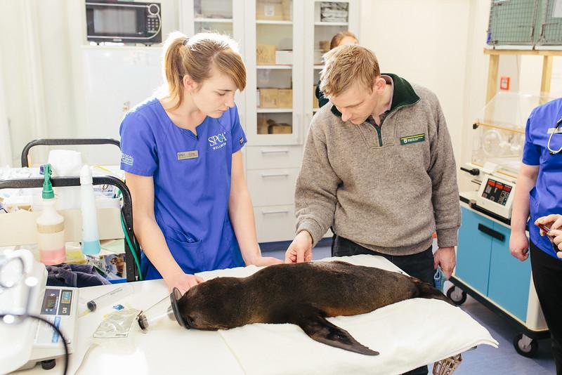 Seal Pup rescue - SPCA Wellington
