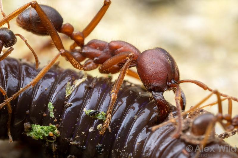 Labidus spininodis