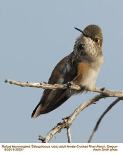 Rufous Hummingbird F29321.jpg