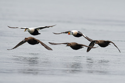 Flying King Eider