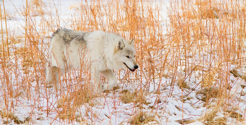 White wolf in reeds, Yellowstone National Park