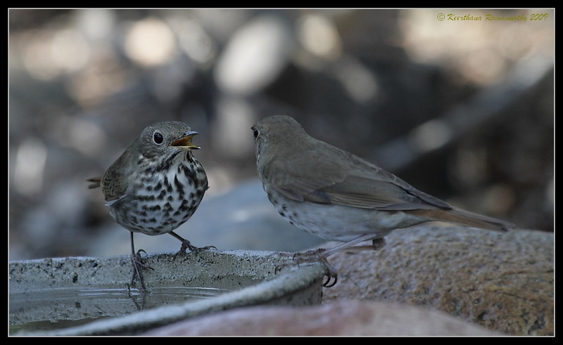 Hermit Thrushes coming to a concensus, The Drip, Cabrillo National Monument, San Diego County, California, November 2009